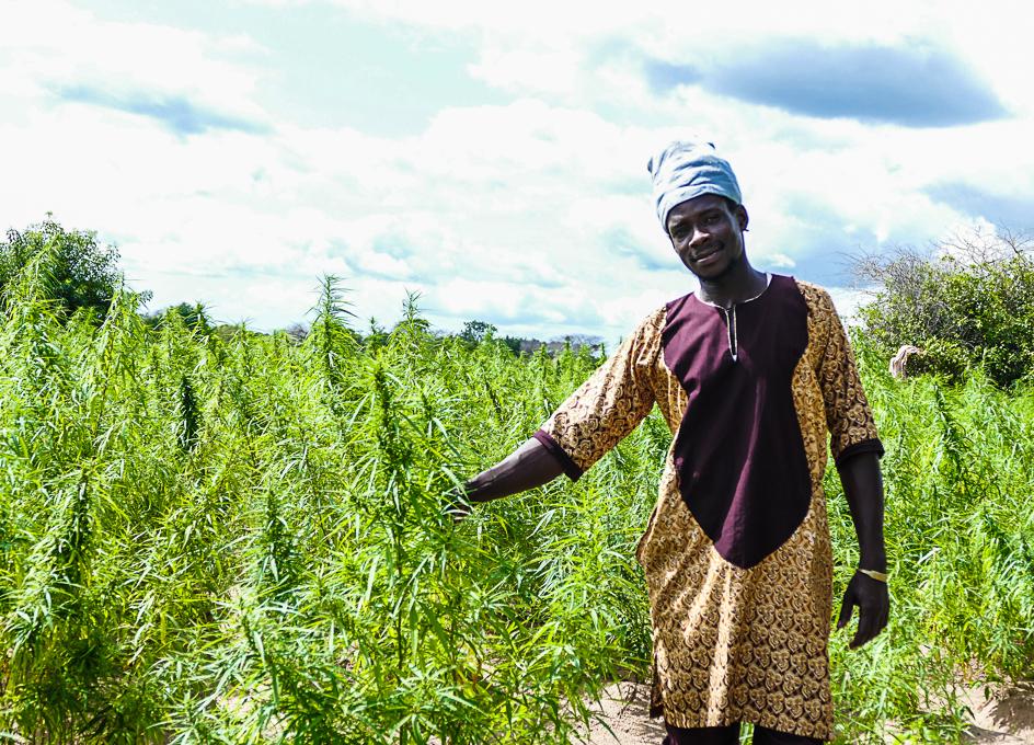 Marijuana plantation in Gambia